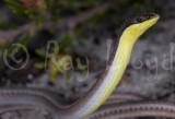 Pletholax gracilis gracilis