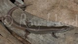 Lygisaurus foliorus
