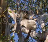 Mammals of Australia (Other)