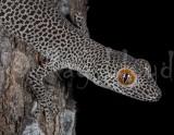 Lizards of Australia (Diplodactylidae)