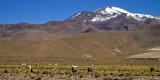 Troupeau de lamas sur l'Altiplano