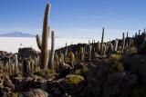 Salar d'Uyuni. Les cactus de l'ile du Pescado