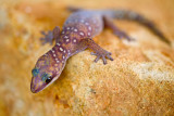 Velvet Spotted Gecko