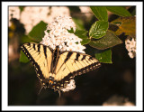 First Swallowtail of Spring-2