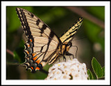 First Swallowtail of Spring