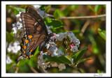 Black Swallowtail on Viburnum