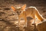 IMG_1569-Fennek fox