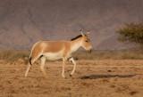 IMG_4659 - Equus hemionus