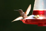 Sea Ranch Hummingbirds