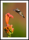 Juvenile Ruby Throated Hummingbird
