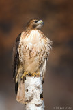 Red tailed Hawk on perch