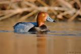 Redhead Duck (drake)