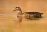Wood duck (hen) on golden waters
