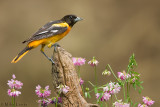 Baltimore Oriole in field of flowers