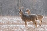 Dual bucks in fine snowfall