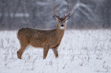 Snowstorm Buck