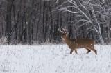 Bruiser buck in snowy landscape