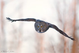 Great Gray Owl fly by