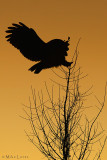 Great Gray owl  (sunset silhouette )