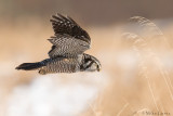 Northern Hawk Owl over snowy field