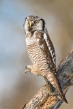 Northern Hawk Owl  concealment position