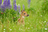 Fawn in Lupine