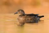 Wood duck (Hen) in last light