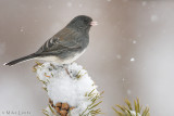 Junco in a snowstorm