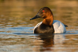 Canvasback (drake in late day light)