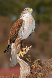 Ferruginous Hawk (light morph)