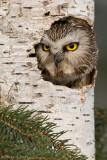 Saw Whet Owl in nest cavity