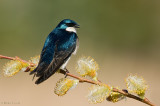 Tree Swallow on yellow buds