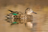 Green Winged Teal (hen)