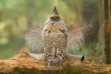 Ruffed Grouse (slow shutter speed)