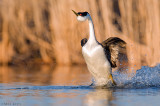 Western Grebe (rushing display)