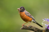 American Robin (with dinner)