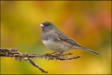 Junco fall scene