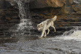 Wolf down the falls