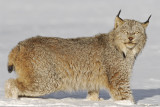 Lynx frozen stare