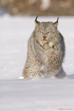 Lynx crossover
