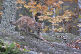 Cougar pup down rock