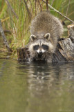 Racoon at water level