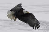 Eagle flys with food