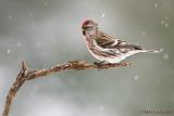 Common Redpoll in snow