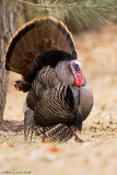 Turkey (tom) struttin