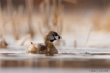 Pied Billed Grebe on icy pond