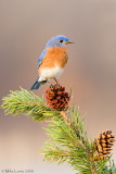 Bluebird on pinecone