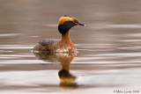 Horned Grebe Reflecting