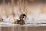 Pied Billed Grebe beauty