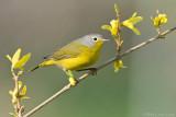 Nashville warbler on Forsythia bush